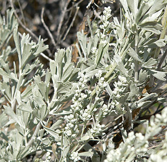 Sagebrush - Leaves and flowers of Artemisia tridentata