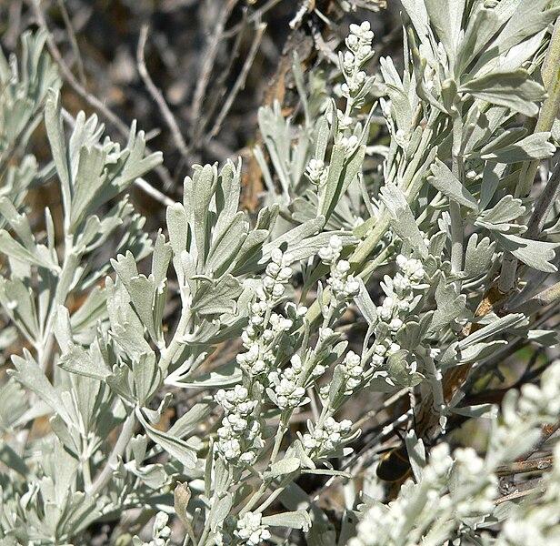 File:Artemisia tridentata 2.jpg
