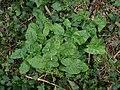 Arum maculatum 117633654.jpg