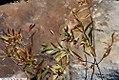 Asclepias incarnata pulchra 2zz.jpg