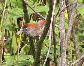 Ashy-throated Parrotbill (Sinosuthora alphonsiana) (8077153987) (cropped).jpg