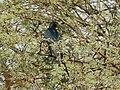 Asian Koel (Eudynamys scolopaceus) (33029610371).jpg
