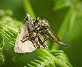 Asilidae. Robberfly with moth (31796179028).jpg