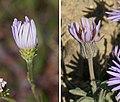 Aster vs Daisy phyllaries.jpg