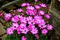 Asteraceae Flowers3.jpg