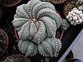 Astrophytum asterias 3.jpg