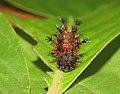 Athyma perius - Common Sergeant caterpillar 27.jpg