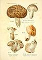 Atlas des champignons comestibles et vénéneux (Planche 66) (6358028923).jpg