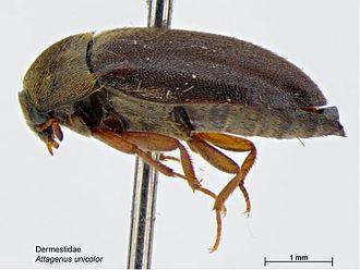 Museum integrated pest management - Attagenus unicolor