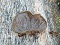 Auricularia auricula-judae 78856105.jpg