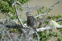 Austral Canastero (Asthenes anthoides) from behind.jpg
