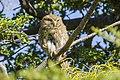 Austral Pygmy Owl (Glaucidium nanum) - Torres del Paine National Park 17.jpg