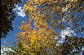 Autumn leaves are still falling-01 (26781843903).jpg