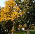 Autumn trees on Sutton Green, SUTTON, Surrey, Greater London (6).jpg