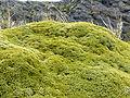 Azorella compacta (yareta) en la Isla H, Ushuaia, Argentina.JPG