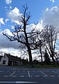 Březiněves, U parku, památný dub letní.jpg