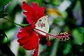 B02 Burma Pathein Catopsilia Pomona Pomona Catilla Male and Hibiscus (4725699822).jpg