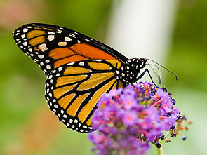 Monarchfalter (Danaus plexippus)