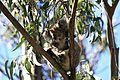 Baby Bear (Koala) (6758915095).jpg