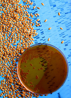 Bacteria used to make wheat seeds nearly immune to wheat take-all.jpg