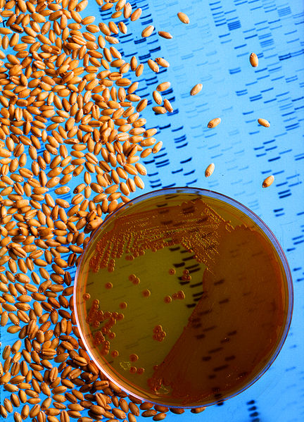 File:Bacteria used to make wheat seeds nearly immune to wheat take-all.jpg