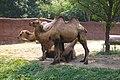 Bactrian Camels @ St Louis Zoo (4686471103).jpg