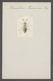 Baeocharis - Print - Iconographia Zoologica - Special Collections University of Amsterdam - UBAINV0274 046 15 0004.tif
