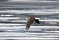 Bald eagle flying above Lewis Lake (14330445586).jpg