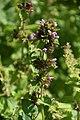 Ballota nigra in Jardin botanique de la Charme 01.jpg