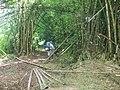 Bamboo Forest - panoramio.jpg