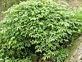 Bandicoot Berry Leea indica Mumbai by Raju Kasambe DSCF9970 (5) 03.jpg