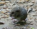 Bank Vole. Clethrionomys glareolus - Flickr - gailhampshire.jpg
