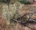 Banksia attenuata response to fire Burma Rd email.jpg