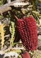 Banksia caleyi 02.png