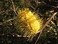 Banksia canei (41639643754).jpg