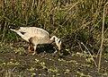 Bar-headed Goose AaMSM5901.jpg