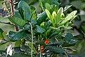 Barringtonia acutangula (Freshwater Mangrove) in Hyderabad W IMG 8318.jpg