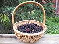 Basket of wild blackberries.JPG