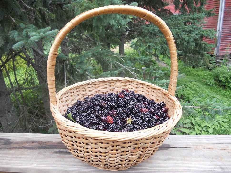 Basket of wild blackberries
