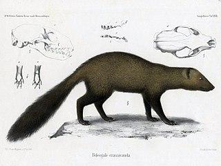 <i>Bdeogale</i> genus of mammals