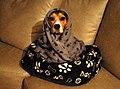 Beagle ramona.jpg