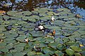 Beale Arboretum water lillies - West Lodge Park - Hadley Wood Enfield London.jpg