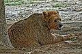 Bear in Lahore Zoo by Damn Cruze 3.jpg