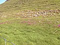 Bed of Purple Orchids Hay Dale - geograph.org.uk - 312160.jpg