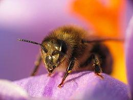 Bee crocus macro 1.jpg
