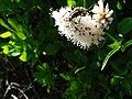Beetle (possibly velvet long-horned beetle) on bistort flower (a2b6be96bedf43f983b102a8b756cb73).JPG