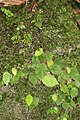 Begonia mildbraedii (Begoniaceae) (24336115292).jpg