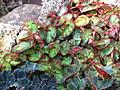 Begonia sp. 01.JPG