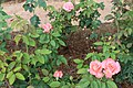 Bellingrath Gardens and Home 2018 rose garden Touch of Class.jpg