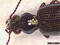Bembidion (Emphanes) normannum (38805932341).jpg